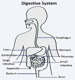 Digestive system diagram for class 5 evs the science territory digestive system 60 ccuart Images